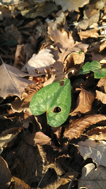 i regali della natura nel bosco foglia d'edera